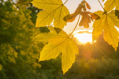 Fall leaves close up and golden sun Royalty Free Stock Images