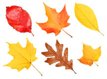 Fall Leaves Collection isolated . Autumn Stock Images