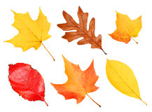 Fall Leaves Collection isolated on white Royalty Free Stock Photos