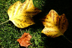 Fall Leaves Stock Images