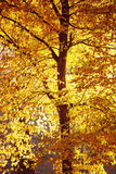Fall leaves colors. Golden fall colors of aspen tree by bright sunny evening Royalty Free Stock Photos
