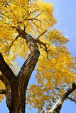 Fall leaves, cottonwood tree, blue sky. Scenic Autumn setting, cottonwood tree canopy in fall colors with blue sky as a background stock image