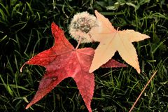 Fall Leaves. With a dandelion in the middle on the grass Stock Photos