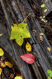 Fall leaves on fallen log. Royalty Free Stock Photo