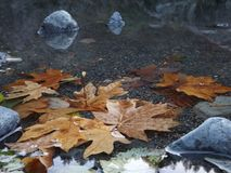 Fall. Leaves floating in the smith River Stock Images