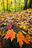 Fall leaves in forest Royalty Free Stock Image