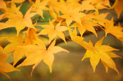 Fall leaves in a forest. Close up photo of golden yellow maple tree leaves in the Fall royalty free stock photography