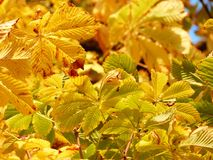 Fall Leaves, Golden, Rays, Light Royalty Free Stock Photography