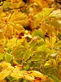 Fall Leaves, Golden, Rays, Light Stock Photography