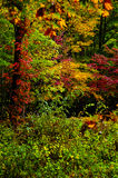 Fall leaves in the Great Smoky mountains Royalty Free Stock Images