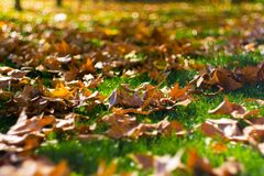 Fall leaves on green grass