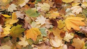 Fall leaves stock video