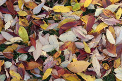 Fall leaves on the ground. Several colorful dried fall leaves of  tree lying on the ground. Trees shed their leaves during fall thus making a carper of colors Stock Photos