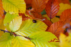 Fall leaves with Harlequin ladybird Royalty Free Stock Photography