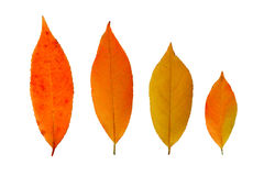 Fall leaves isolated. Four autumn, fall  leaves  isolated on white Royalty Free Stock Image