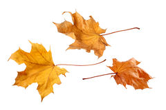 Fall leaves isolated on a white background Royalty Free Stock Photos