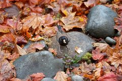 Fall Leaves with Junco Bird Royalty Free Stock Photography