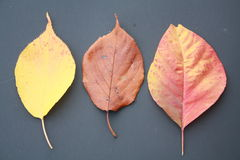 Fall leaves or leafs with black back ground Royalty Free Stock Images