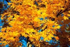 Fall leaves maple Royalty Free Stock Image