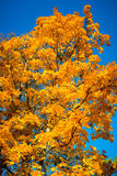 Fall leaves maple Stock Photography