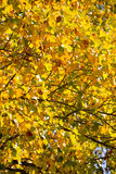 Fall Leaves on a Maple Tree Stock Photo