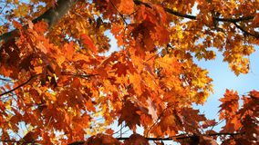 Fall leaves on a Maple tree with a blue sky. Fall season with orange leaves on a tree with a blue sky, bright day with the sun shining.Deep orange Maple leaves Stock Photography