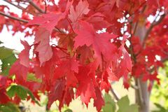 Fall leaves. Maple tree turning fall colors Stock Photos