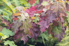 Fall Leaves. Oak leaves change color as winter approaches.n royalty free stock images