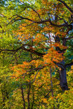 Fall leaves oak Royalty Free Stock Images