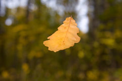 Fall leaves oak-tree Royalty Free Stock Photos