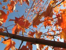 Fall Leaves stock video footage
