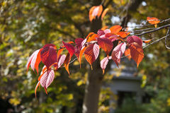 Fall Leaves. Orange leaves on a tree about to fall with shallow depth of field royalty free stock photography