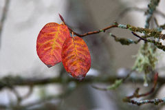 Fall Leaves. Orange leaves on a tree about to fall with shallow depth of field stock images