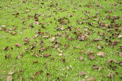 Fall leaves (Orchid Tree). Orchid Tree dead leaves falling on meadow Stock Photography