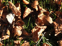 Fall leaves in the park. Autumn leaves strewn on the ground Royalty Free Stock Image