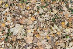 Fall leaves and the phenomenon of changing autumn colors. Fall leaves and the phenomenon of changing autumn golden colors stock photos