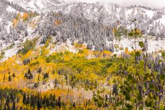 Fall Leaves Among the Pine Trees at Guardsman Pass. View from Guardsman Pass in Big Cottonwood Canyon accross the road from the Solitude Ski Resort Stock Image