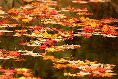 Fall leaves on pond. Fall maple leaves drifting on a pond Royalty Free Stock Images