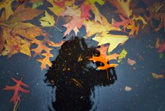 Fall leaves in a puddle Royalty Free Stock Photography