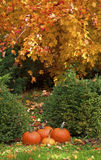 Fall Leaves and Pumpkins. Bright orange pumpkins in the grass under bright orange fall foliage Stock Photography