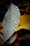 Fall Leaves Raindrops Stock Photos