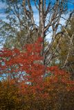 Fall Colors - Deciduous Leaves. Fall leaves of red osier dogwood, hawthorn and birch trunk in autumn showing an assortment of beautiful colors stock photo