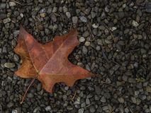 Fall Leaves SA060262. One red maple leaf on bed of gravel in lower left of frame Stock Photos