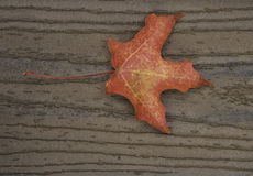 Fall Leaves SA060251. Single red maple leaf on brown boards with stem on the left center Royalty Free Stock Photos
