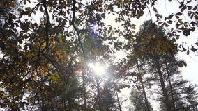 Fall leaves with the sky background. Colorful foliage in the autumn park. the rustle of the wind. Fall leaves with the blue sky background. Colorful foliage in stock footage