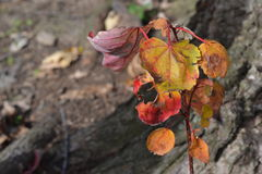 Fall leaves on stem Royalty Free Stock Photos