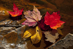Fall leaves in stream Stock Image