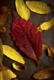 Fall Leaves in Studio Arrangement Royalty Free Stock Photo