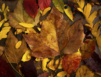 Fall Leaves in Studio Arrangement Stock Photos