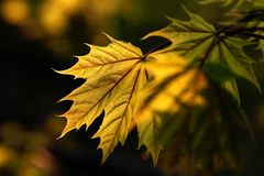 Fall leaves at sunset. Golden maple leaf in the forest with back sunset light, dark forest in the background. This is my collection of leaves in spring and Stock Image